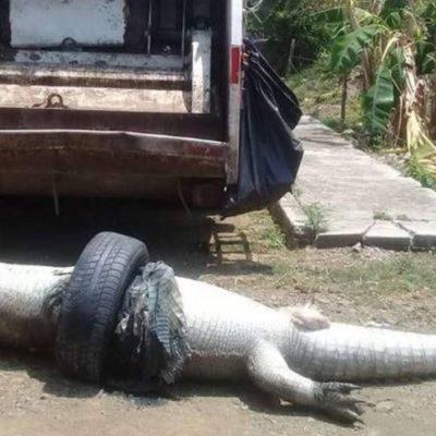Muere cocodrilo atrapado en una llanta de auto desechada en un pantano de Tuxpan