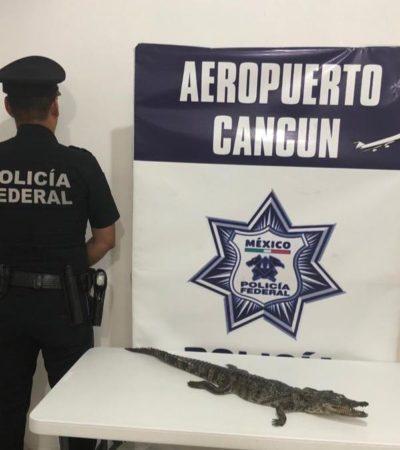 Detienen a extranjeros por querer abordar avión con cocodrilo disecado