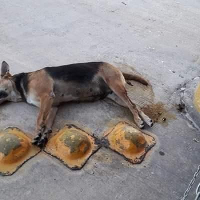 Indigna a ciudadanos envenenamiento de más de cuarenta perros en barrios de Campeche
