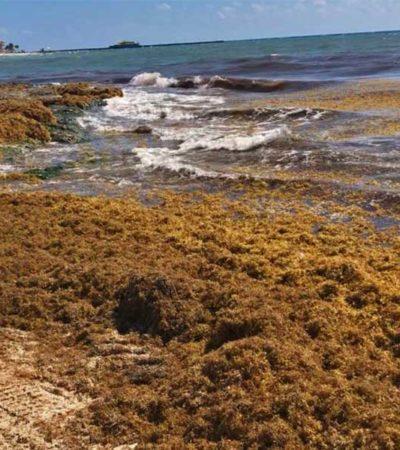 Advierten mortalidad masiva de fauna marina por sargazo desde Cancún hasta Xcalak