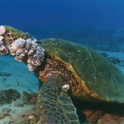 Por estrés y contaminación es más frecuente observar a tortugas con tumores en Akumal, asegura experto
