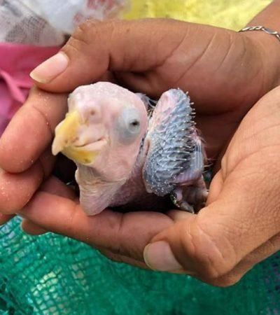 Detienen a sujetos por posesión y comercialización de 28 crías de loros en Playa del Carmen; autoridades exhortan a no comprar animales silvestres