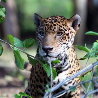 """Para evitar más muertes de jaguar, ganaderos recibirán el taller """"Ganadería sustentable y conservación del jaguar"""" en Solidaridad"""