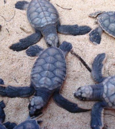 Gobierno de Cozumel mantiene monitoreo y vigilancia de 500 nidos de tortuga marina