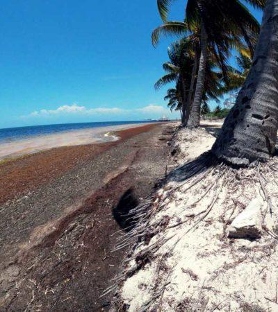 EROSIÓN DE PLAYAS, DAÑO COLATERAL DEL SARGAZO: Combate al alga provoca perdida de arenales en Cancún