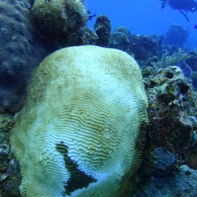 Síndrome blanco ya afecta 40% del coral en Cozumel