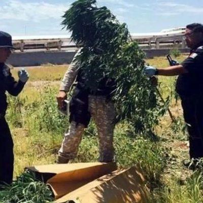 Hallan sembradío de mariguana en terrenos de refinería en Cadereyta