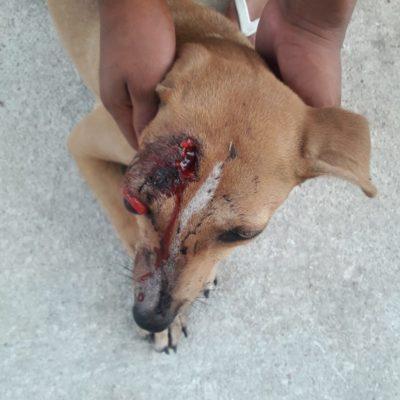 CRUELDAD CONTRA ANIMALES: Hombre le saca ojo a perro con desarmador, en Playa del Carmen