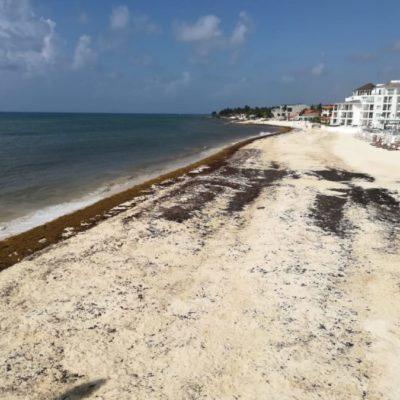 """""""TODOS SE VAN A COZUMEL"""": Recale masivo de sargazo provoca descenso de afluencia turística en Playa, pero aumenta cruces a la Isla de las Golondrinas"""