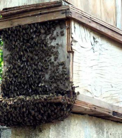 Con la adopción de colmenas de abejas nativas, cancunense busca proteger y preservar a una de las especies más importantes del planeta
