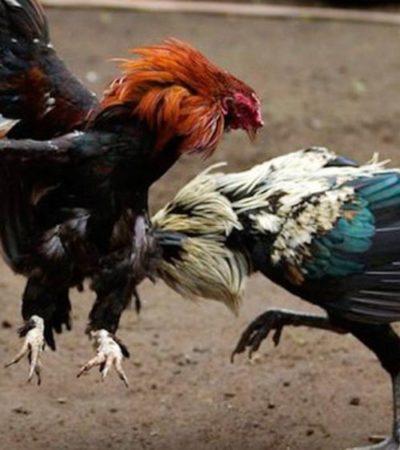 SALTARÁN AL RUEDO CON PICO Y ESPUELA: Anticipan galleros de QR amparos contra la Ley de Bienestar Animal