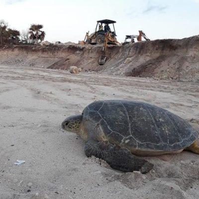 Denuncia la asociación civil GEMA a Grupo Posadas por dañar la zona de anidación de la tortuga marina a un lado de Xcacel-Xcacelito