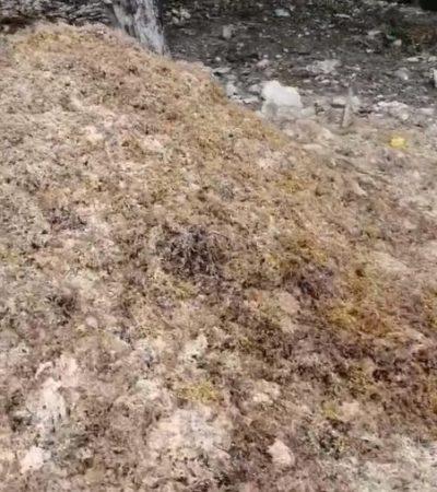 Proliferan tiraderos clandestinos de sargazo por falta de aplicación del protocolo de combate y nula vigilancia de autoridades en Playa del Carmen