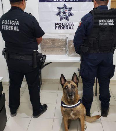 Decomisan más de 2 kilos de marihuana en Aeropuerto de Cancún