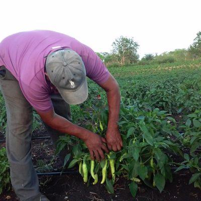 Aumenta el precio del chile habanero en la zona maya