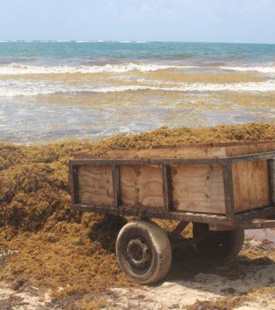 Advierte Consejo Técnico Asesor contra intención de usar microorganismos como estrategia para lograr la supuesta degradación del sargazo en el Caribe
