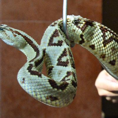 Incrementan casos de mordeduras de serpientes en Yucatán por invasión de su hábitat natural