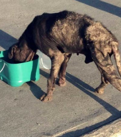 Cancún registra aumento de enfermedades en perros a causa de abandono e irresponsabilidad de dueños