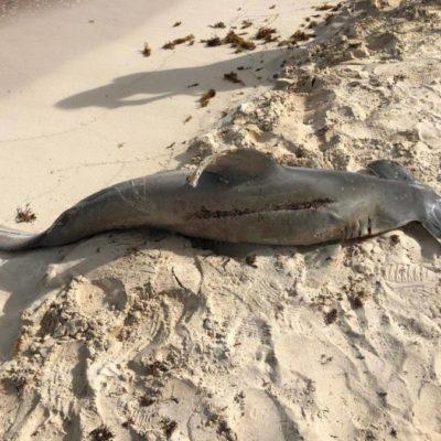 """Recala ejemplar muerto de tiburón martillo en """"El Faro"""", en Playa del Carmen"""