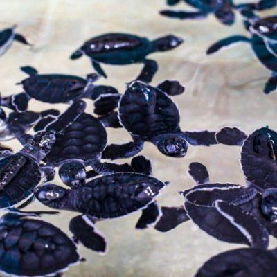 Isla Mujeres rompe récord en el número de nidos de tortuga marina en comparación con años anteriores