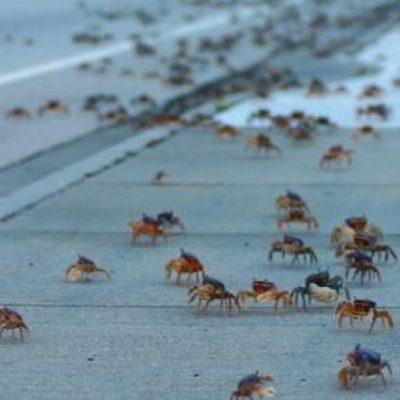 En campaña de protección al cangrejo azul piden a los automovilistas manejar con precaución en Zona Hotelera de Cancún