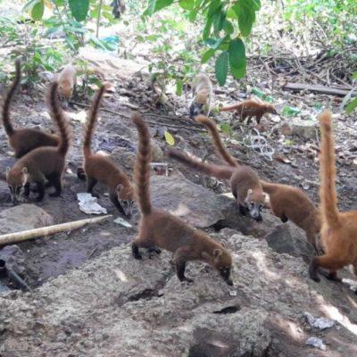 Arrojar comida a la fauna silvestre altera sus hábitos alimenticios y de convivencia, asegura experto