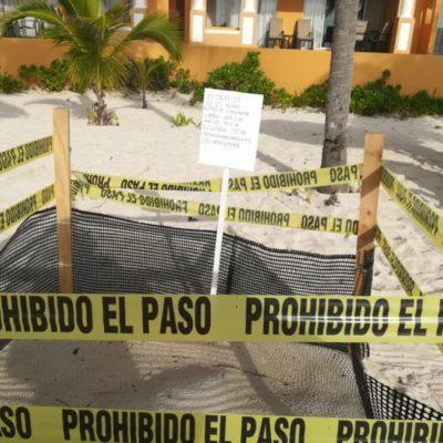 Solicitan mayor vigilancia en arenales para impedir que nidos de tortuga sufran saqueos en Playa del Carmen