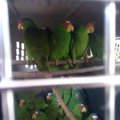 Descubren cargamento ilegal de 103 loros en Othón P. Blanco