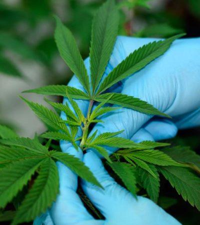 PROMOCIONAN USO DE CANNABIS EN YUCATÁN: Crece el consumo y la divulgación de manera abierta de las propiedades médicas de la marihuana