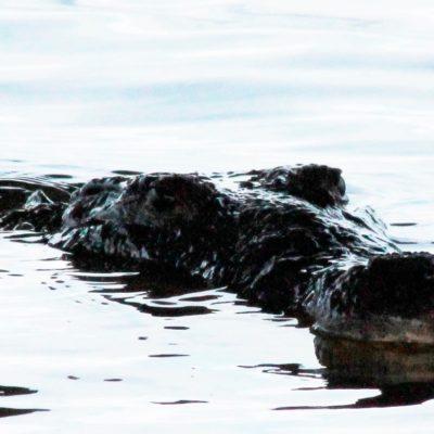Alertan por cocodrilos en Cozumel; uno habría atacado a un turista