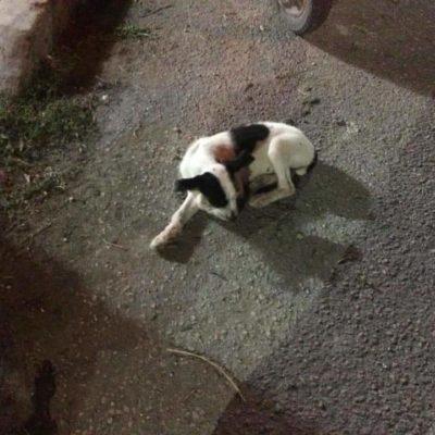 Con balines, asesinaron a perro en Cozumel; hay un hombre detenido y piden la máxima sanción posible
