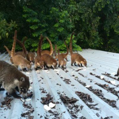 Pide la Organización Mexicana de Rescate y Rehabilitación de Fauna Silvestre la reubicación inmediata de tejones, mapaches y venados de la zona urbana de Playa del Carmen