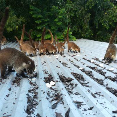 Vecinos piden reubicación y protección de tejones, mapaches y venados porque personas los cazan para comerlos, en Playa del Carmen