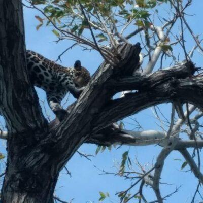 Rescatan bomberos a cachorro de jaguar atrapado en árbol en la Zona Hotelera de Cancún