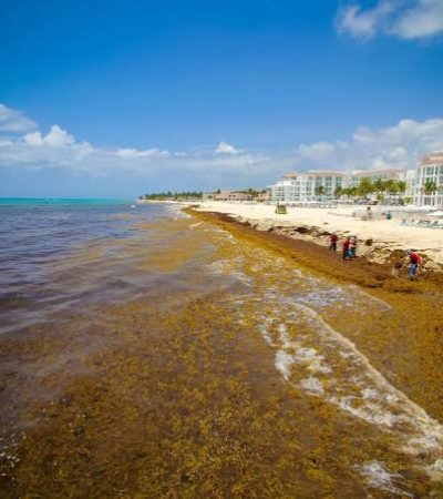Reportan reducción de sargazo en el Caribe y el Golfo de México