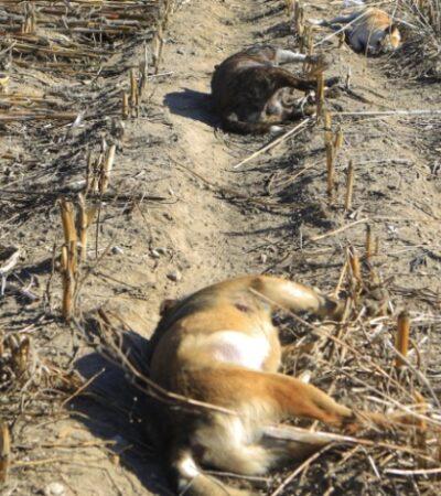 Denuncian envenenamiento de al menos 50 canes en Puebla