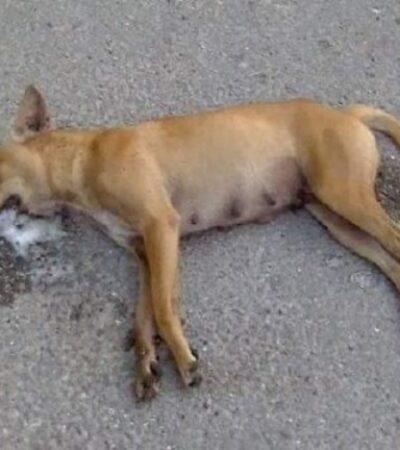 NO SE CASTIGA MALTRATO ANIMAL EN YUCATÁN: Denuncian nuevo caso de envenenamiento masivo de perros en Cacalchén