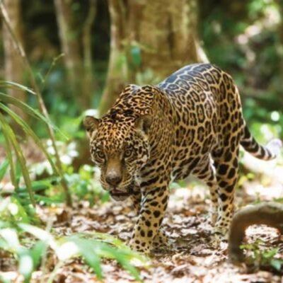 Continúa cacería de jaguares para evitar daños al ganado bovino en Yucatán, afirma Pronatura