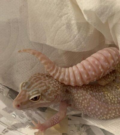 Aseguran reptiles exóticos en aeropuerto de Mérida