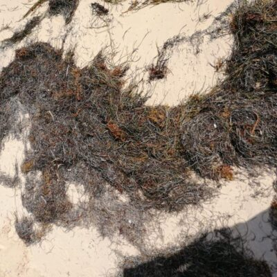 Pasto marino y no sargazo ha recalado en playas de QR en los últimos días, aclaran especialistas