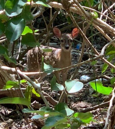 LA NATURALEZA HACE LO SUYO SIN HUMANOS: Reportan avistamiento de fauna silvestre en zona urbana de Playa del Carmen