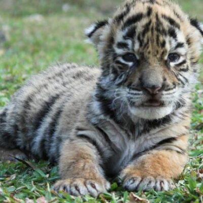 FOTOS | Nace un tigre de bengala en zoológico de Veracruz… lo llaman Covid