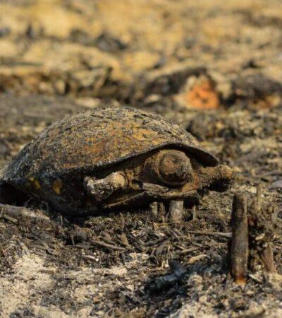 Piden ambientalistas denunciar quemas agrícolas en QR para evitar que incendios forestales causen más daño a la flora y fauna