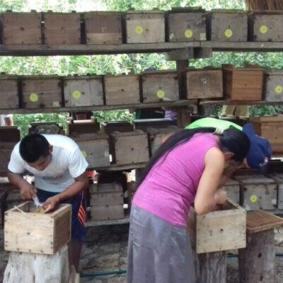Producción de miel de abeja melipona en riesgo por sequía en QR