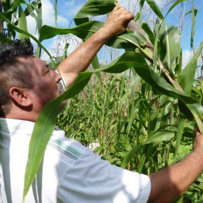 Liberará Sader 199 mdp en apoyos agrícolas en Quintana Roo