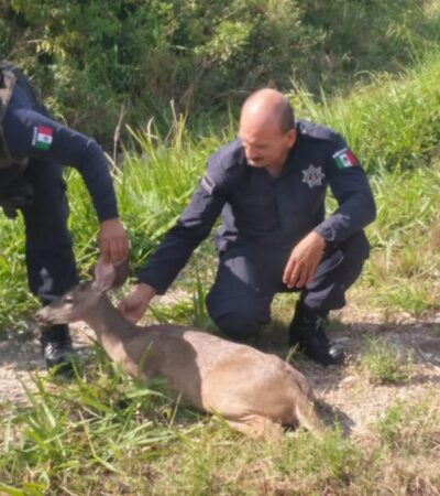 Policías rescatan ejemplar de venado atropellado en la carretera Chetumal-Bacalar