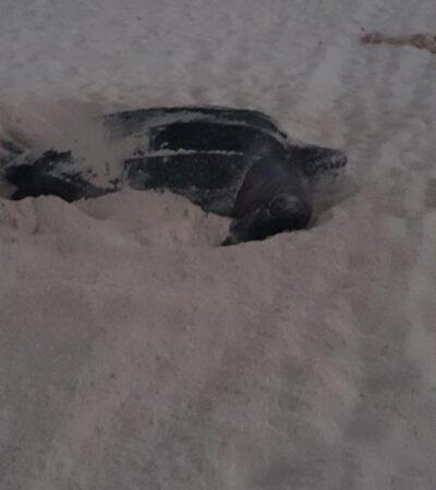 Registran desove de otras dos tortugas laúd en playas de Cancún