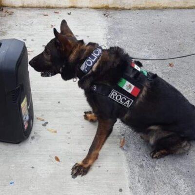 NO CONTABAN CON SU ASTUCIA: Perro descubre a hombre con marihuana oculta en su bocina al intentar cruzar de Playa a Cozumel