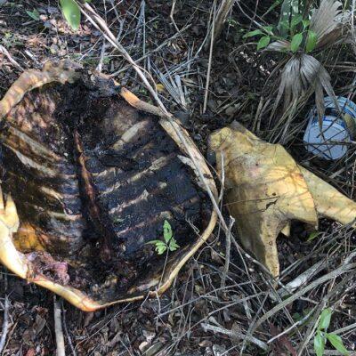 Denuncian hallazgo de tortuga marina muerta cargada de huevos en Mahahual