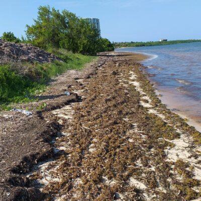 Incrementa recale de sargazo en playas de Cancún por el frente frío 60